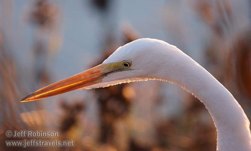 Backlit head of a Great Egret. (11/10/2012, Sacramento National Wildlife Refuge)