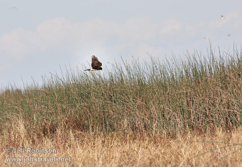 A raptor (possibly a Northern Harrier) flying over the reeds (11/10/2012, Sacramento National Wildlife Refuge)
