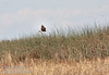 A raptor (possibly a Northern Harrier) flying over the reeds (11/10/2012, Sacramento National Wildlife Refuge)