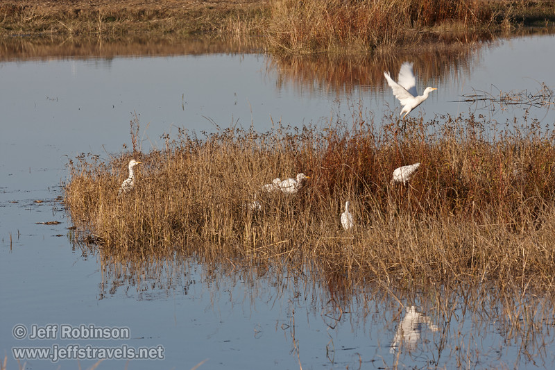 Several Cattle Egret in the grass, with one taking off. (11/10/2012, Sacramento National Wildlife Refuge)