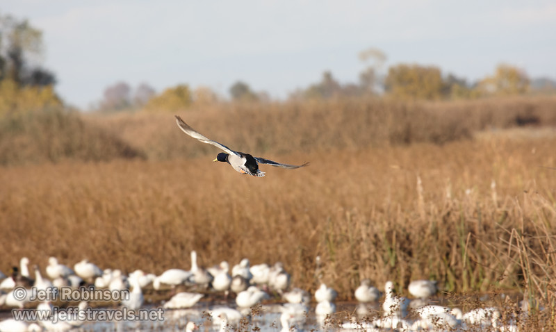 A male Mallard Duck flying low. (11/10/2012, Sacramento National Wildlife Refuge)