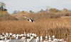 A male Mallard Duck flying low. (11/10/2012, Sacramento National Wildlife Refuge)