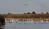 Ducks swimming in the water, with geese on the shore behind. (11/10/2012, Sacramento National Wildlife Refuge)