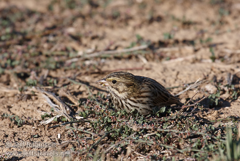 A small, brownish bird (probably a female finch) feeding in the small plants on the levee (11/10/2012, Sacramento National Wildlife Refuge)