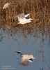 A Cattle Egret flying low over the water, with its reflection in the water. (11/10/2012, Sacramento National Wildlife Refuge)