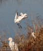 A Cattle Egret coming in for a landing, with two others already in the grass. (11/10/2012, Sacramento National Wildlife Refuge)