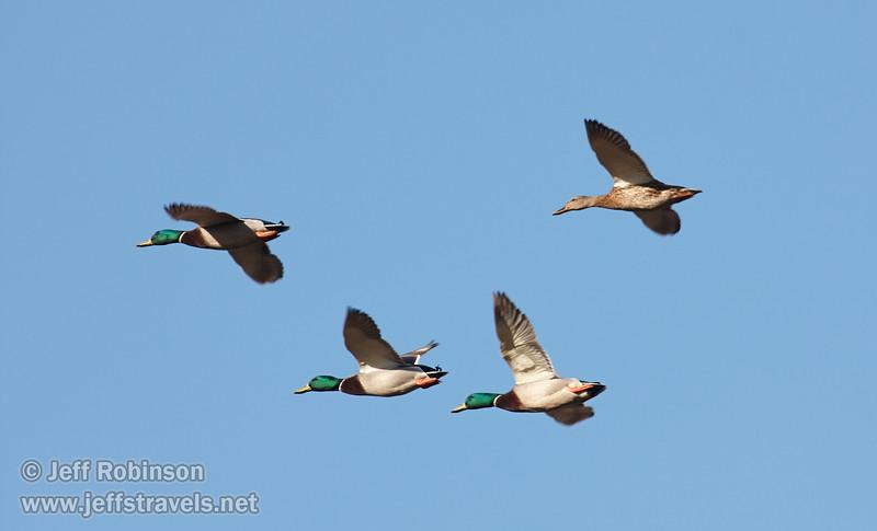 Mallard Ducks (3 male and 1 female) flying against blue sky. (11/10/2012, Sacramento National Wildlife Refuge)