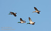 Mallard Ducks (3 male and 1 female) flying against blue sky. (11/10/2012, Sacramento National Wildlife Refuge)