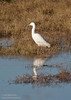 A Snowy Egret, distinguished by its black bill. (11/10/2012, Sacramento National Wildlife Refuge)