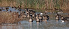 Ducks and geese (White-fronted Geese) in the water (11/10/2012, Sacramento National Wildlife Refuge)