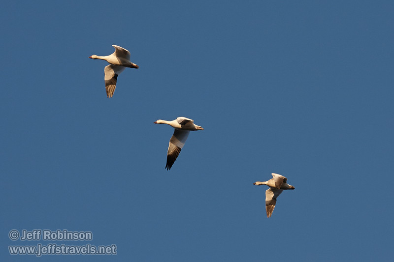Three white Snow Geese flying against a deep blue sky. (11/10/2012, Sacramento National Wildlife Refuge)