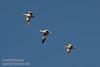 Three white Snow Geese flying against a deep blue sky. (11/10/2012, Sacramento National Wildlife Refuge)