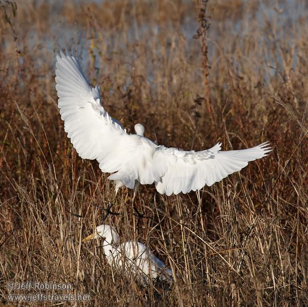 A Cattle Egret flying away. (11/10/2012, Sacramento National Wildlife Refuge)