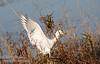 A Cattle Egret coming in for a landing. (11/10/2012, Sacramento National Wildlife Refuge)