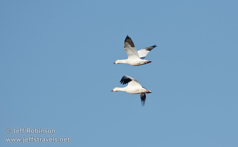 A pair of Snow Geese flying against the sky. (11/10/2012, Sacramento National Wildlife Refuge)