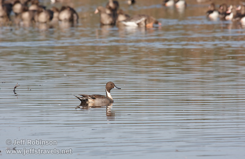 Male Northern Pintail Duck swimming in the water (11/10/2012, Sacramento National Wildlife Refuge)