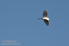 A Great Egret flying against blue sky. (11/10/2012, Sacramento National Wildlife Refuge)