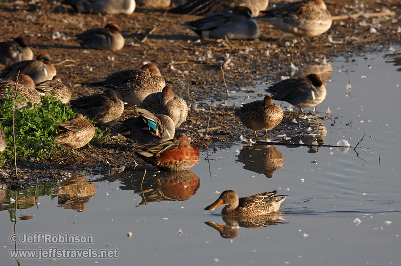 Ducks (mostly sleeping) on the edge of the shore. The reddish duck is likely a Cinnamon Teal, the one flashing the green on the wing is likely a male Mallard, and the one swimming in front with the wide bill is a female Northern Shoveler. (11/10/2012, Sacramento National Wildlife Refuge)