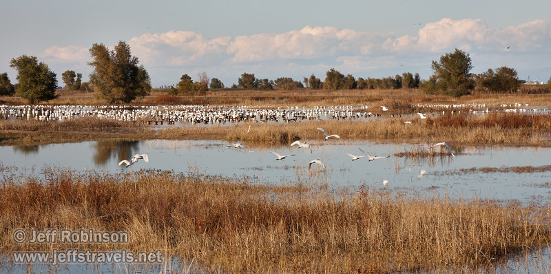 A flock of Cattle Egret take off, with a huge quantity of geese (mostly white Snow Geese) in the background. (11/10/2012, Sacramento National Wildlife Refuge)