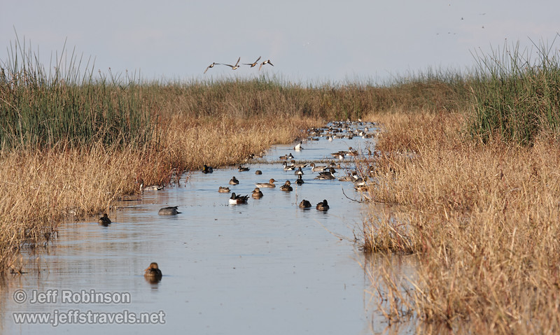 Ducks swimming in a canal among the dry grass and green reeds, with more water fowl flying in the sky (11/10/2012, Sacramento National Wildlife Refuge)