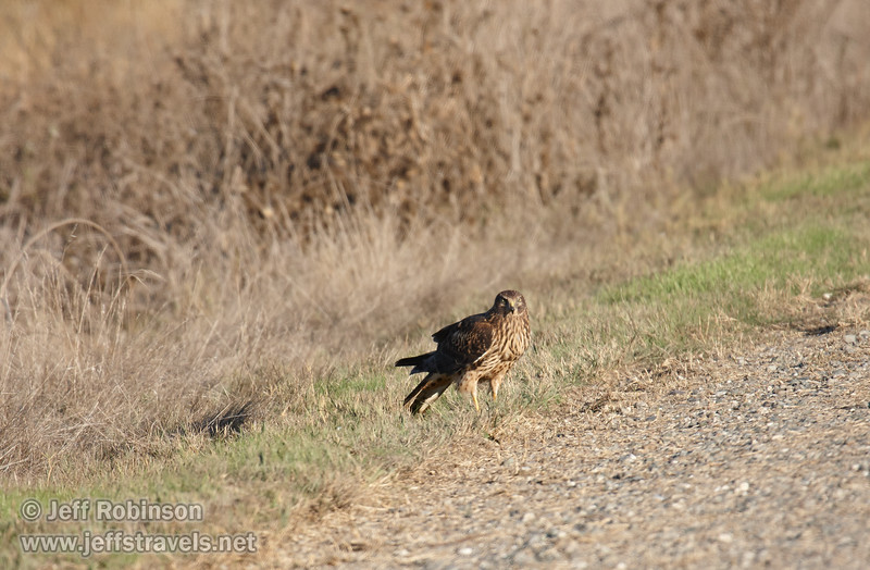 A raptor (possibly a female Northern Harrier) standing at the side of the road. (11/10/2012, Sacramento National Wildlife Refuge)