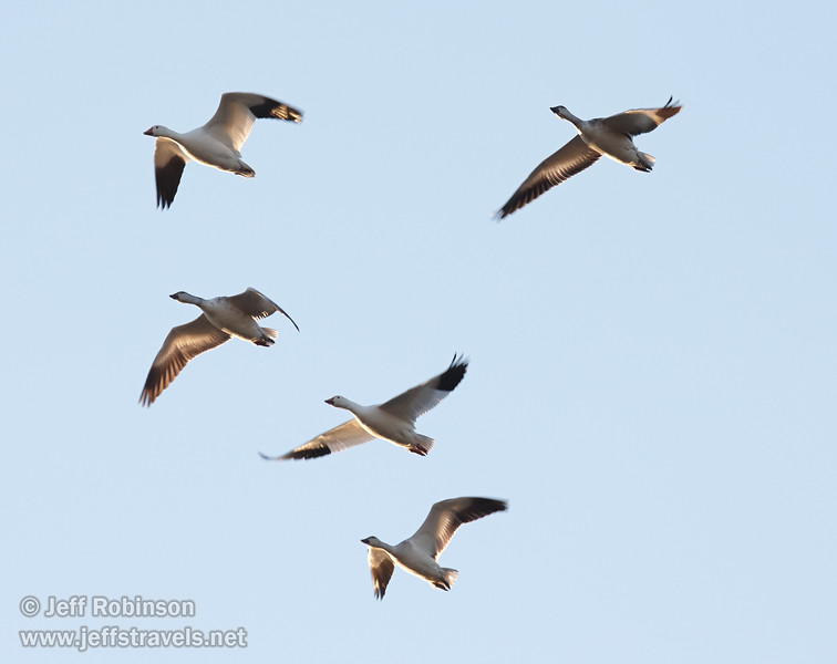 A flock of backlit white Snow Geese flying against the blue sky. (11/10/2012, Sacramento National Wildlife Refuge)