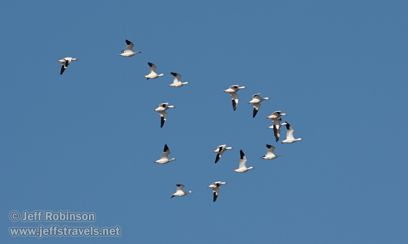 A flock of geese (probably Snow Geese) flying against a blue sky (11/10/2012, Sacramento National Wildlife Refuge)