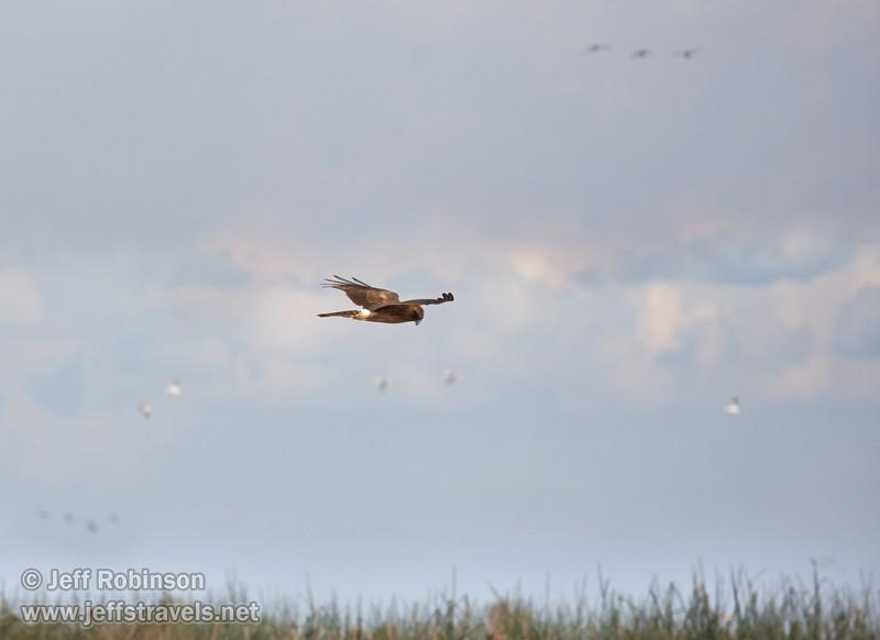 A raptor (possibly a Northern Harrier) flying in the sky. (11/10/2012, Sacramento National Wildlife Refuge)