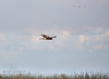 A raptor (possibly a Northern Harrier) flying in the sky. (11/10/2012, Sacramento National Wildlife Refuge)