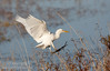 A Cattle Egret coming in for a landing. (11/10/2012, Sacramento National Wildlife Refuge)