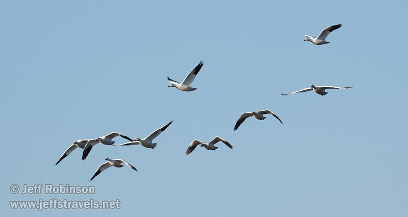 A flock of Snow Geese flying against the sky. (11/10/2012, Sacramento National Wildlife Refuge)
