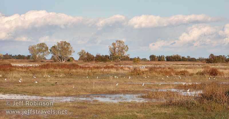 The wetlands landscape: The marsh has a flock of Cattle Egret in the front, with tiny blackbirds in the grass and reeds behind them, and a large flock of snow geese behind that. (11/10/2012, Sacramento National Wildlife Refuge)