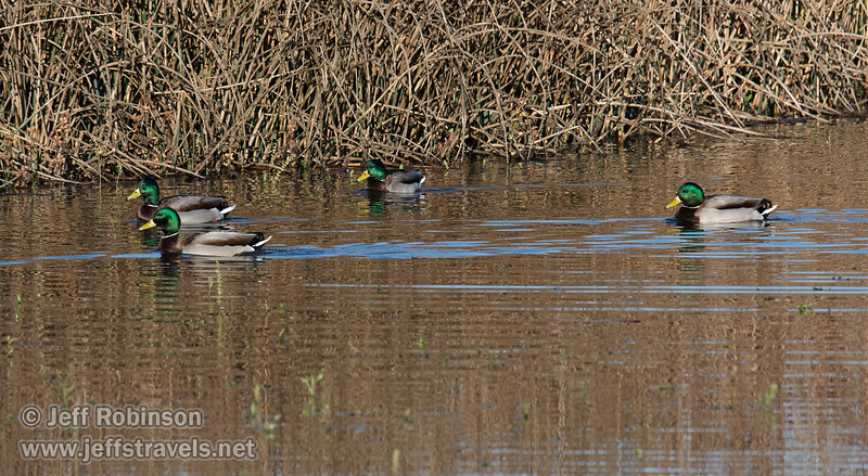 Mallard Ducks swimming in the water, with the males showing off their brilliant green heads. (11/10/2012, Sacramento National Wildlife Refuge)