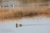 A male Mallard Duck leaves a V-wake in the water as it swims. (11/10/2012, Sacramento National Wildlife Refuge)