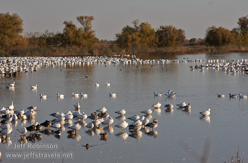 Many geese in the water. The white ones are Snow Geese. (11/10/2012, Sacramento National Wildlife Refuge)