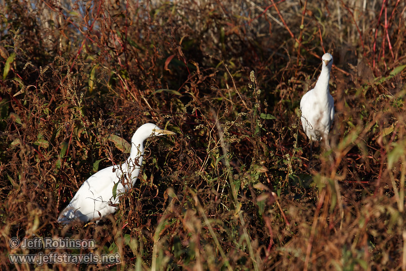 A pair of Cattle Egret in the grass and weeds. (11/10/2012, Sacramento National Wildlife Refuge)