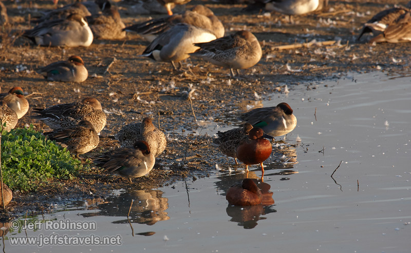 Ducks resting at the edge of the shore. The reddish one is probably a Cinnamon Teal. (11/10/2012, Sacramento National Wildlife Refuge)
