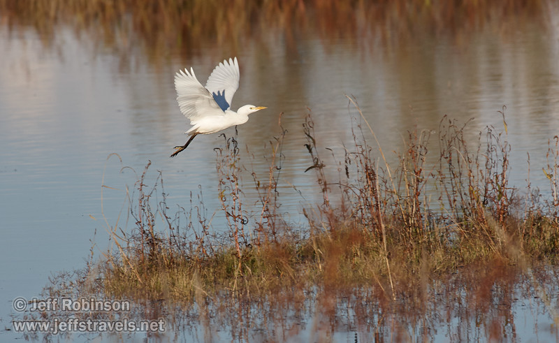 A Cattle Egret flying low over the water. (11/10/2012, Sacramento National Wildlife Refuge)