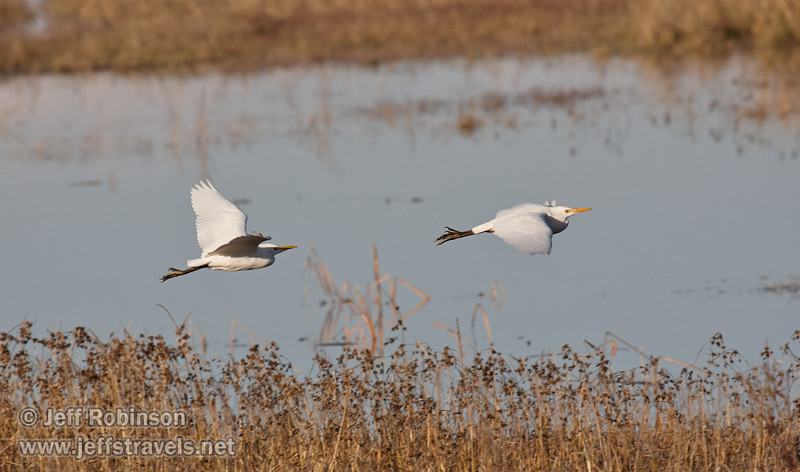 A pair of Cattle Egret flying low over the water. (11/10/2012, Sacramento National Wildlife Refuge)