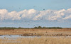 Ducks in the water and on a small island surrounded by dry grass, with many distant birds flying in the sky against clouds (11/10/2012, Sacramento National Wildlife Refuge)