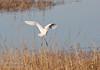 A Cattle Egret landing. (11/10/2012, Sacramento National Wildlife Refuge)