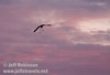 A lone sandhill crane gliding in for a landing with legs dangling down against bright pink clouds (10/4/2009, Isenberg Sandhill Crane Reserve near Lodi, CA)