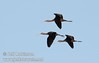 Three white-faced ibis flying against the blue sky (10/4/2009, Isenberg Sandhill Crane Reserve near Lodi, CA)