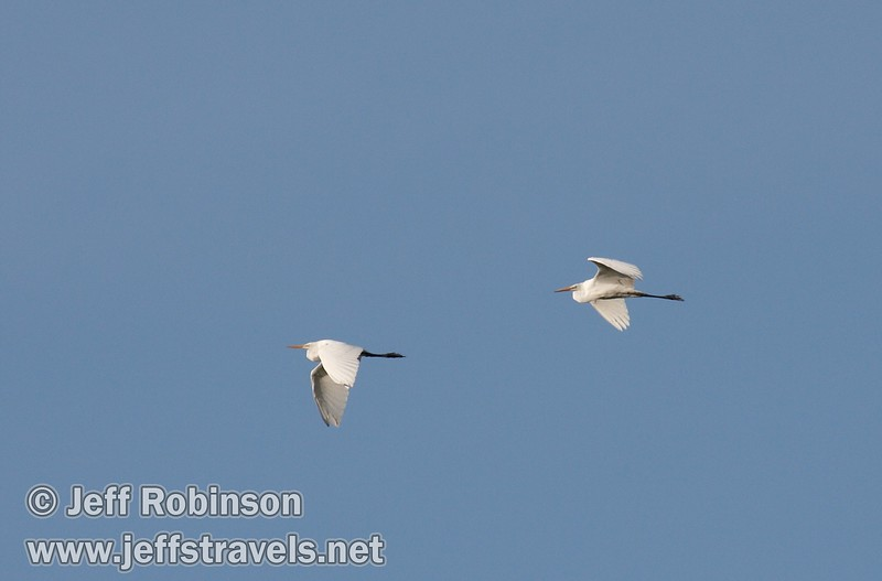A pair of distant great egrets flying against the blue sky (10/4/2009, Isenberg Sandhill Crane Reserve near Lodi, CA)