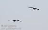 A pair of sandhill cranes flying against the sky (10/4/2009, Isenberg Sandhill Crane Reserve near Lodi, CA)