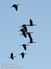 A flock of white-faced ibis flying against the blue sky (10/4/2009, Isenberg Sandhill Crane Reserve near Lodi, CA)