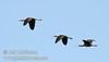 Three white-faced ibis flying against the blue sky (10/4/2009, Isenberg Sandhill Crane Reserve near Lodi, CA)