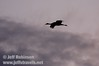 A lone sandhill crane gliding against the clouds (10/4/2009, Isenberg Sandhill Crane Reserve near Lodi, CA)