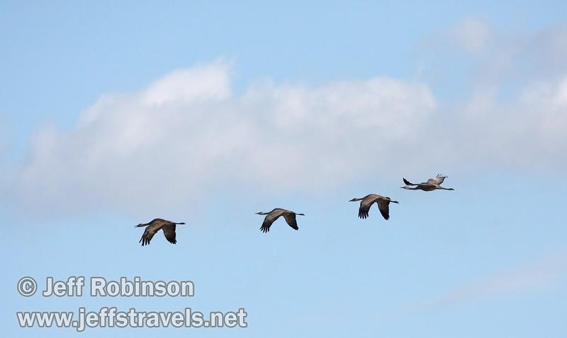 Four sandhill cranes flying against a blue & cloudy sky (10/4/2009, Isenberg Sandhill Crane Reserve near Lodi, CA)