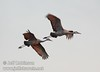 A pair of sandhill cranes flying against a grey sky with late sun hitting them (10/4/2009, Isenberg Sandhill Crane Reserve near Lodi, CA)